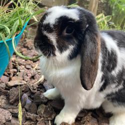 Kaninchen Gerhard